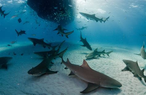 baby shark usa great white shark photobomb picture has lead us to this