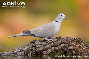 collared dove videos photos and facts streptopelia