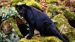Jaguar Vs Panther Black Jaguar Vs Black Leopard Wallpaper