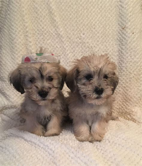chonzer puppies for sale beautiful chonzer puppies egham surrey pets4homes