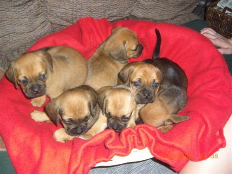 free puppies in fresno puggle puppies 1st generation cross for sale adoption from fresno california adpost