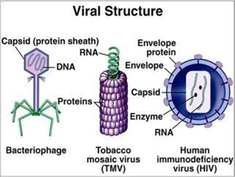 what is the capsid of a virus? quora