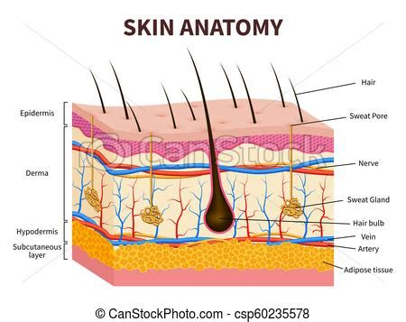 human skin anatomy royalty free vector image vectorstock human skin layered epidermis with hair follicle sweat and sebaceous glands healthy skin