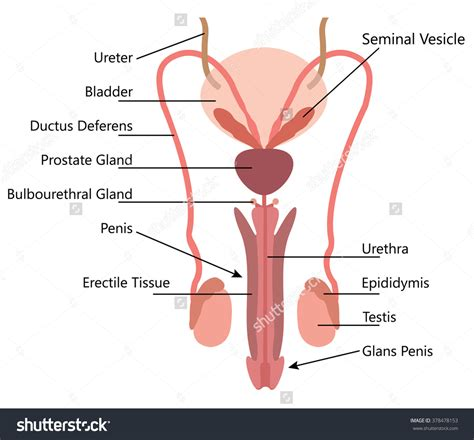 labelled diagram of e reproductive system labeled human anatomy system