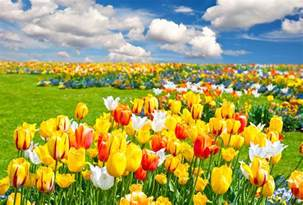 Landscape Pictures With Flowers Tulips Field Nature Flowers Landscape Wallpaper