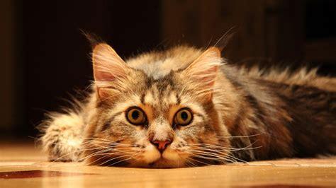 wallpaper chat mignon mignon dr 244 le de chat animaux fond d 233 cran 1920x1080