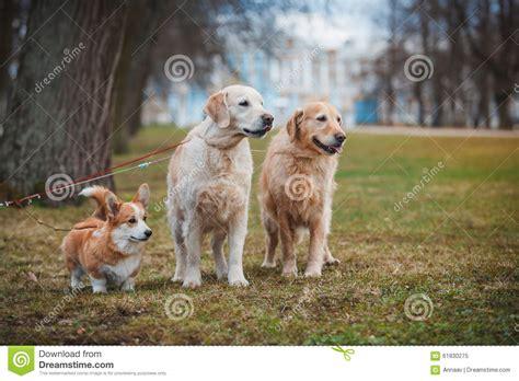 golden retriever rescue san francisco golden retriever puppy for sale in san francisco