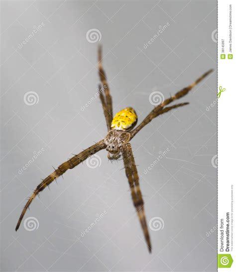 Hawaiian Garden Spider by Hawaiian Garden Spider Waiting For Food Royalty Free Stock