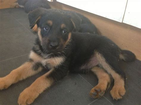 rottweiler german shepherd mix sheperd x puppies 150 posted 1 year ago for sale dogs mixed breed quotes