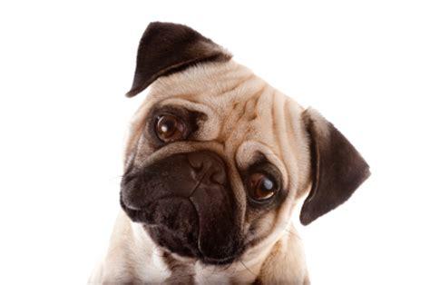 pug insurance pugs