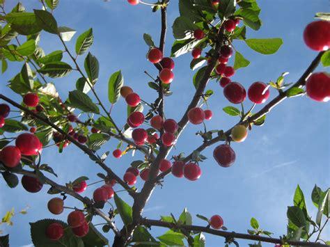 cherry tree carys bray cherry trees