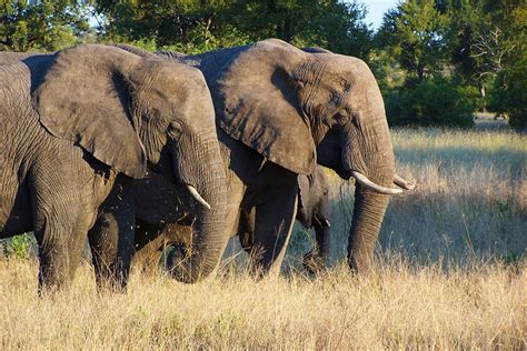 african elephant facts new funny pictures facts about elephants facts about