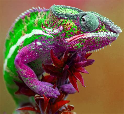 colorful lizard colorful lizards images search