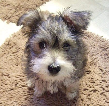mauzer puppies for sale 25 best ideas about schnauzer mix on miniature schnauzer mini schnauzer