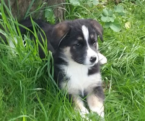 large breed puppies for sale large breed puppies for sale ripley derbyshire pets4homes