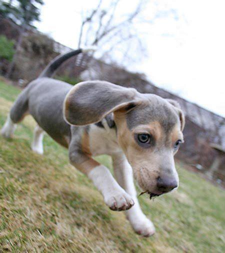 blue beagle puppies for sale best 25 blue beagle ideas on beagle puppies beagle puppy and pocket