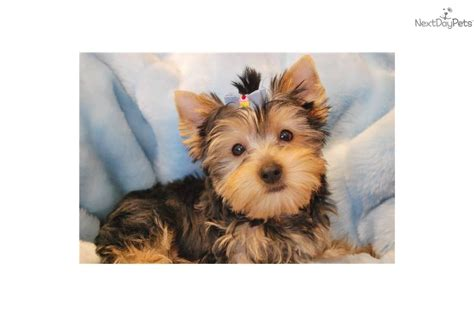 pictures of yorkie teddy bear cuts the gallery for gt yorkie poo teddy bear cut