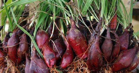 colstev manfaat bawang dayak  kesehatan