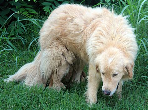 pyrenees golden retriever mix golden pyrenees golden retriever great pyrenees mix temperament pictures