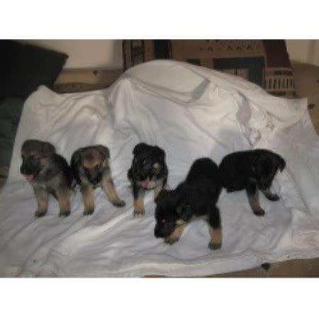 lab puppies kentucky emadens labrador retriever breeder in center kentucky