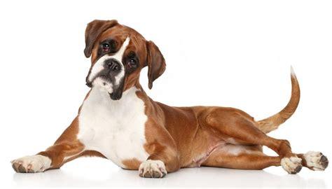 top dog breeds top 10 best dog breeds in the world 2015 popular dog