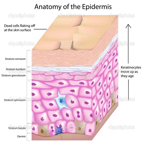 diagram of the dermis skin layers diagram labeled skin free engine image for