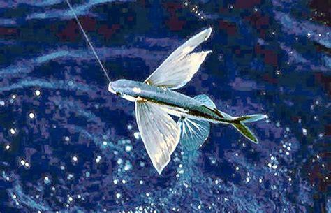 pesce volante amici in allegria pesce volante