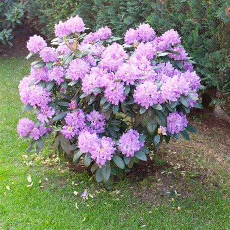 wann schneidet rhododendron rhododendron schneiden 187 wann wie macht das