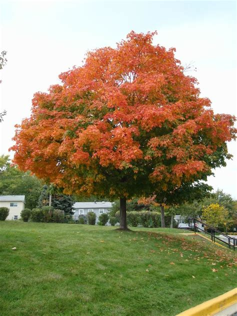 100 best images about sugar maple trees on autumn leaves caramel apple cupcakes and