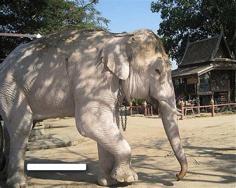 Gajah Putih haiwan terancam yang berwarna putih permata dunia