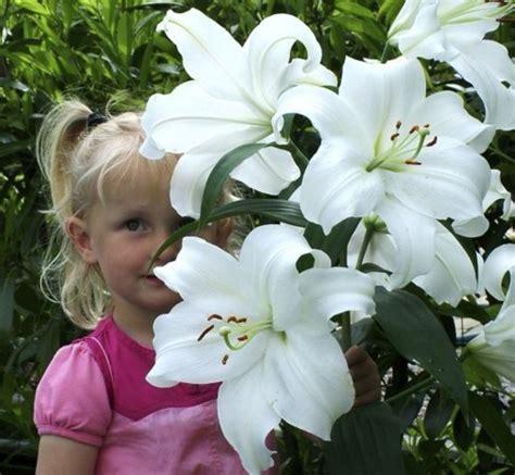 Benih Kemangi Komangi jenis bunga yang wangi pada malam hari