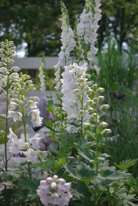 beautiful white delphiniums envy pinterest gardens beautiful and thomas jefferson
