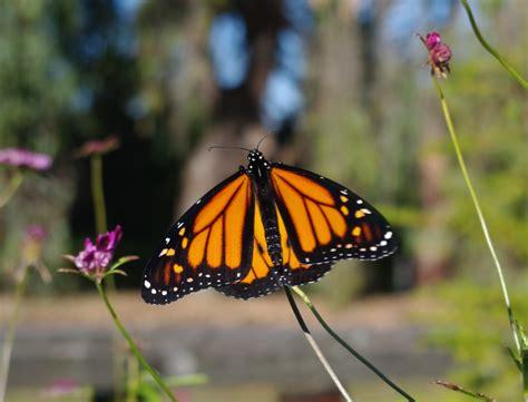 2012 Sb Butterfly Jumbo Tunik bridges sb