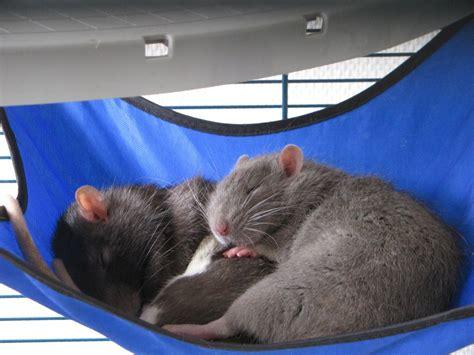 Hamac Pour Rat by Bricolage Fabriquer Ses Propres Hamacs Pour Rats