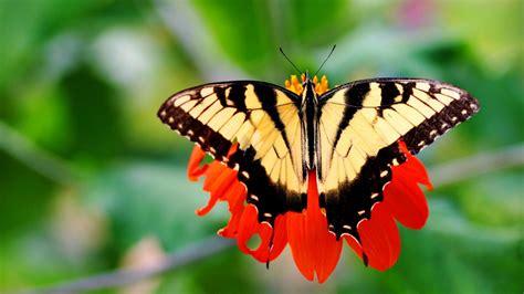 imagenes bellas mariposas hermosa mariposa amarilla hd 1600x900 imagenes