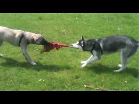 Huskies Turkis siberian husky vs turkish kangal aka anatolian shepherd
