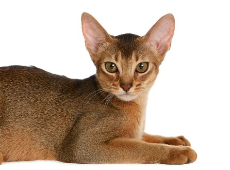breeds with pointy ears cat breeds 101 the abyssinian greengato