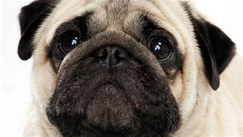 oldest living pug the pug is one of the oldest breeds in the world ancient documents state