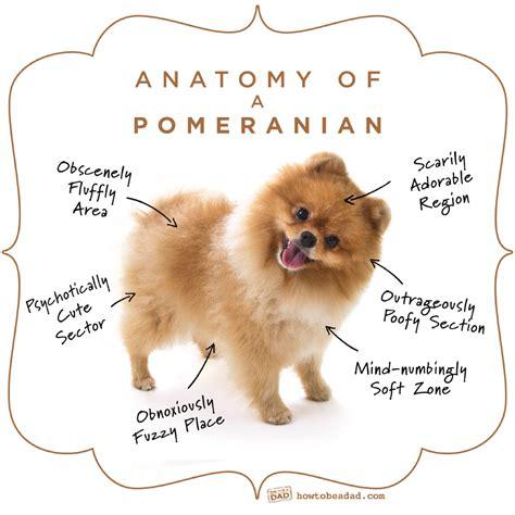 pomeranian anatomy my just said 213