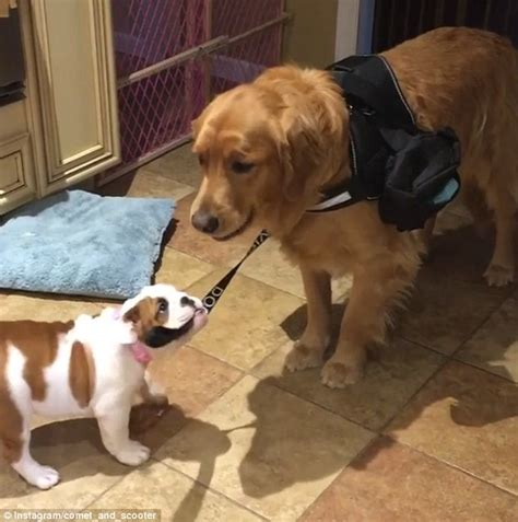 bulldog golden retriever someone needs the corner jojo the puppy try and take