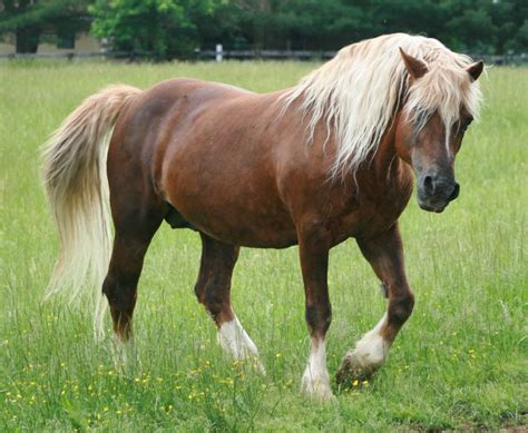 welsh pony section a 145 best images about welsh cobs section d on pinterest