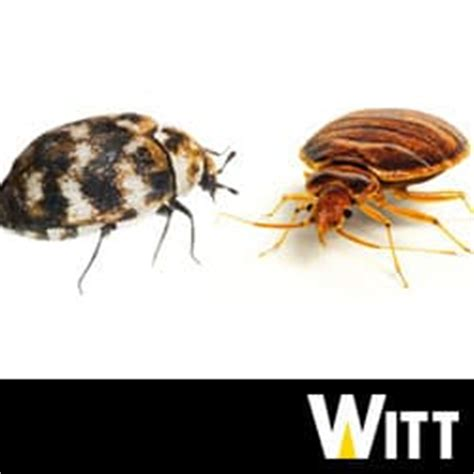 Carpet Beetle Vs Bed Bug bed bugs and carpet beetles causing confusion in pittsburgh
