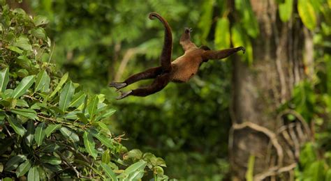 swinging monkeys monkey swinging through the rain forest magazine