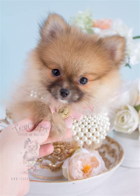 tiny pomeranians tiny teacup pomeranian puppies teacups puppies boutique