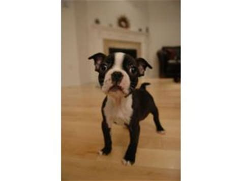 boston terrier puppies for sale in ny boston terrier puppies in new york
