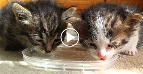 pair of tiny kittens drink water for the first time