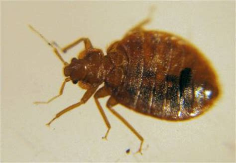 male bed bug bed bug identification signs and picutres guide