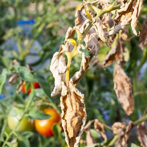 Diseases Of Pepper Plants - fusarium wilt treatment amp control planet natural