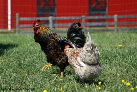 how do chickens mate diagram grownups here these are chickens not humans so let s
