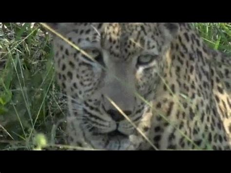 safari live: mvula male leopard on drive this morning with